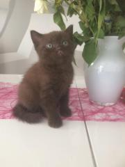 Reinrassige BKH Kitten,