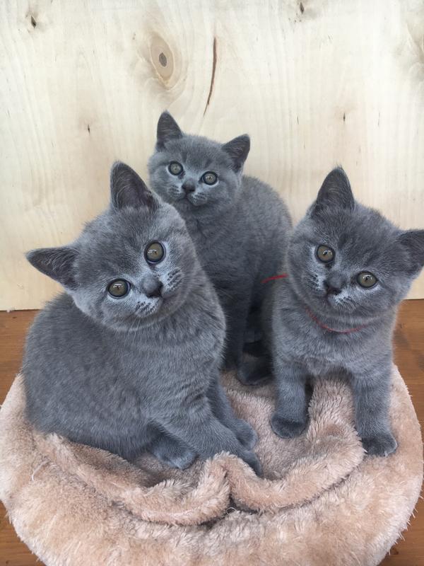 reinrassige s e bkh kitten in n rnberg katzen kaufen. Black Bedroom Furniture Sets. Home Design Ideas