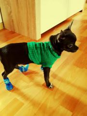 Schwarzer Chihuahua zu