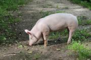 Schweinchen Bacon, 4-