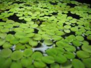 Schwimmpflanzen für Aquarium