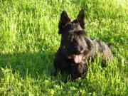 Scottish-terrier-Hündin