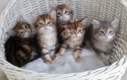 Sibirische Katzenkinder mit
