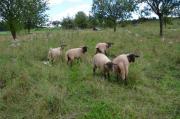 Suffolk-Mischlings Schafbock
