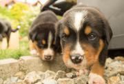 Swissy Dog Welpen