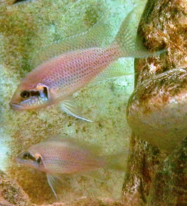 Tanganjika Neolamprologus brichardi bemba - Rarität