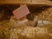 Teddy Hamster Babys