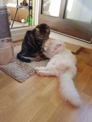 TIMMY & TOMMY - MaineCoon &