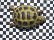 Vierzehen-Schildkröten, Steppenschildkröten,