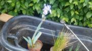 Wasserpflanzen :Schwertlilien gelb/