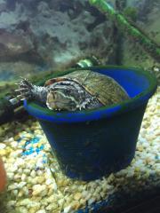 Wasserschildkröte - Gewöhnliche Moschusschildkröte