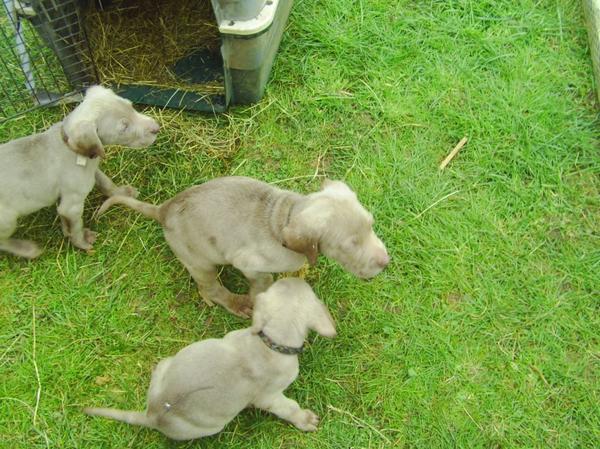 Weimaraner Welpen » Hunde