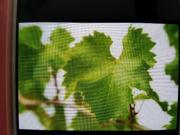 Weinblätter gegen Walnüsse