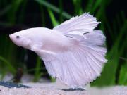 Weiße siamesische Kampffischbabys