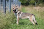 WOLF sucht hundeerfahrene