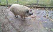 Wollschweine, Mangalica Schwein,
