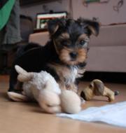 Yorkshire Terrier babys