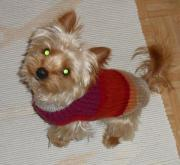Yorkshire Terrier - Deckrüde (