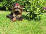 Yorkshire Terrier * Mini