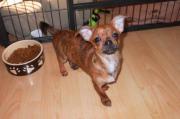 zauberhafter Chihuahua Welpe (