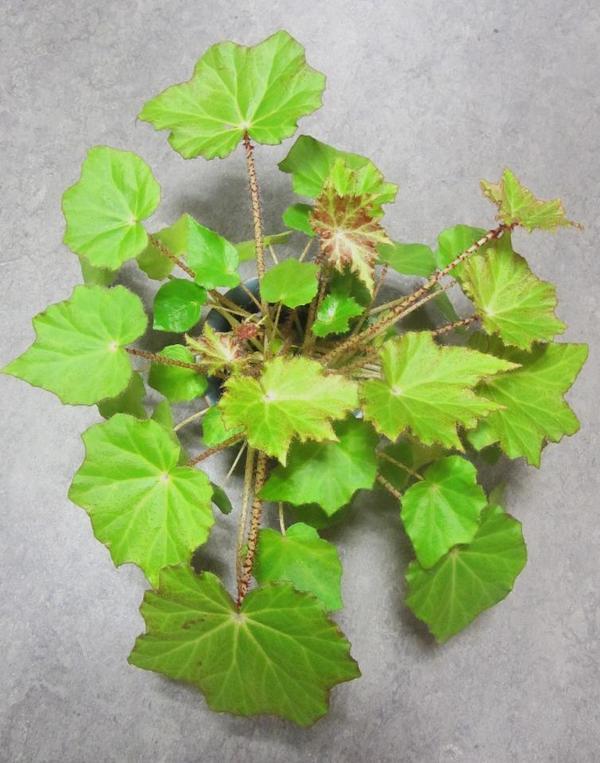 Zimmerpflanzen Grünlilie Begonie Hoya Yukka
