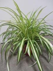 Zimmerpflanzen Grünlilie u a